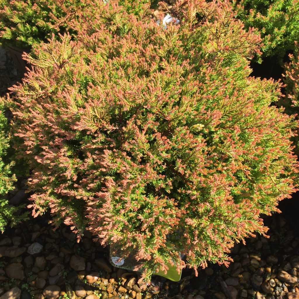 Fire Chief™ Arborvitae
