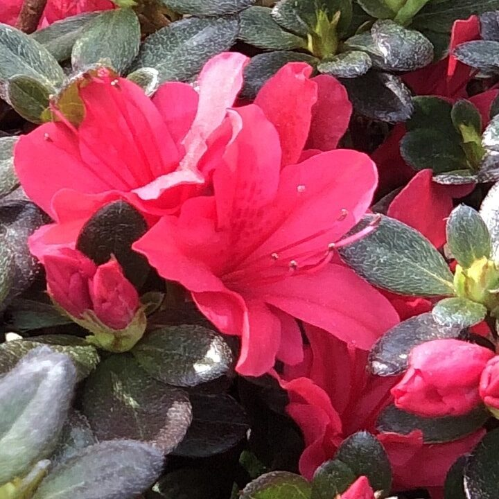 'Christmas Cheer' Azalea