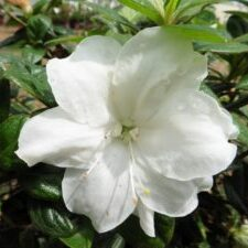 Moonlight™ Encore® Azalea
