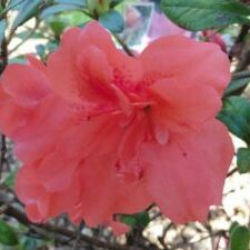 Princess™ Encore® Azalea