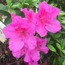 Royalty™ Encore® Azalea