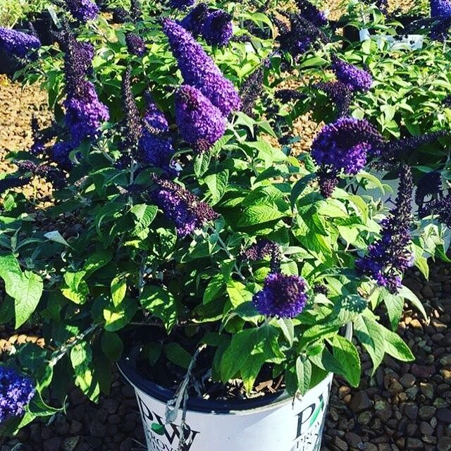 'Pugster Blue' Butterfly Bush