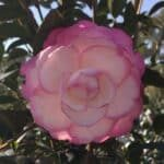 'Moonshadow' Camellia japonica