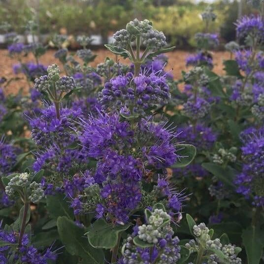 'Beyond Midnight' Caryopteris