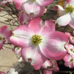 'Cherokee Brave' Native Dogwood