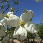 'Cherokee Princess' Native Dogwood