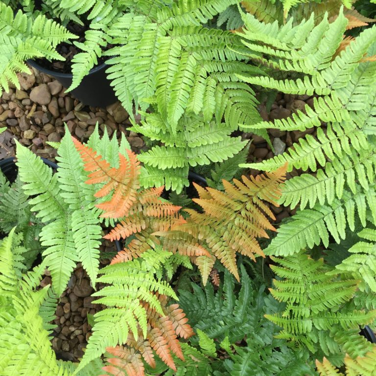 'Autumn' Fern