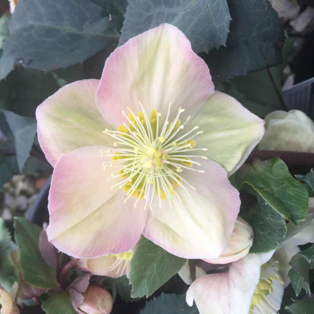 'Shooting Star' Helleborus