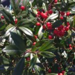 'Foster' Holly Berries