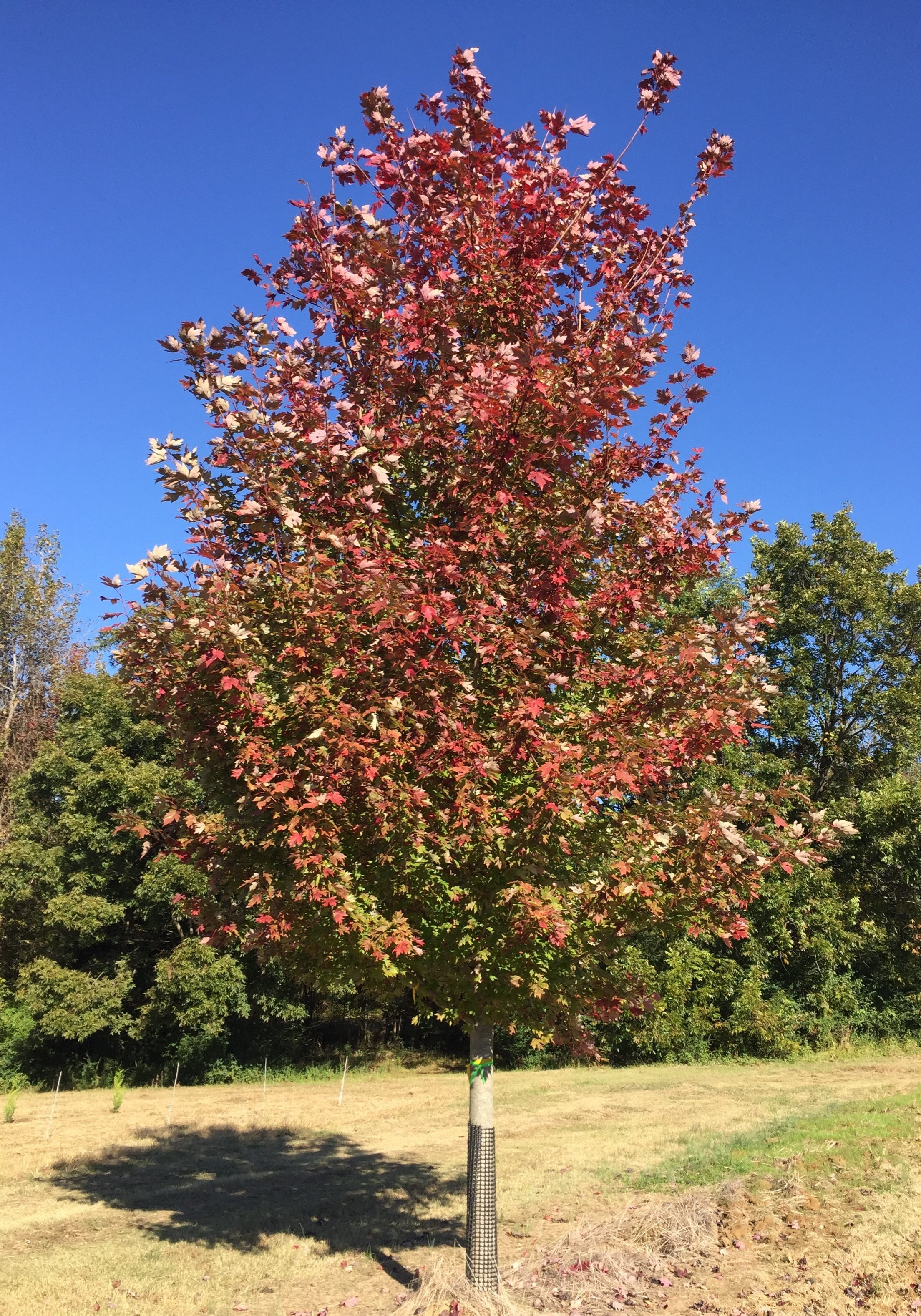'Brandywine' Maple